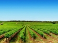 Vineyards on a sunny day